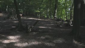 Hörer von wilden Ebern stock video
