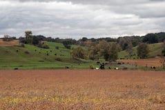 Höstäng med att beta kor, Monroe County, Wisconsin, USA royaltyfria bilder