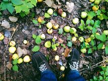 höstäpplen lägger underfoot på gräset Arkivbild