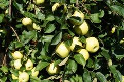 Höst Apple skörd i trädgården Royaltyfri Fotografi