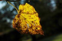 höst backlit leaf Royaltyfri Fotografi