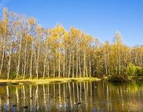 Höst, björkar och sjö Arkivbilder