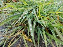Höst Efter hällregn En bula med gräs i stora droppar av vatten arkivfoto