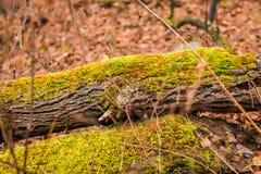 höst fallen tree Grön moss på en fallen tree Säsongsbetonad naturbakgrund arkivbild