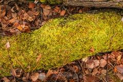 höst fallen tree Grön moss på en fallen tree Säsongsbetonad naturbakgrund royaltyfri bild