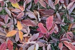 höst fryste leaves arkivfoton