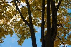 Höst Gula lönnlöv på ett träd Fotografering för Bildbyråer