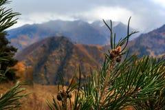 Höst i bergen kottar på ett sörjaträd på en bakgrund av höstberg och molnig himmel Gräsplan, guling och blått arkivbilder