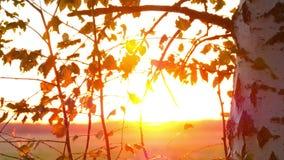Höst i en parkera med björknärbildramar för en bakgrund, slitsar Höstskog i solnedgången stock video
