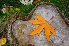 Höst i skogen, gul lönnlöv på stump Royaltyfri Foto