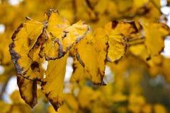 Höst i skogen, gulingsidor på träd Fotografering för Bildbyråer