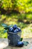 Höst i trädgården Saftiga plommoner för skörd i korgen Royaltyfri Foto