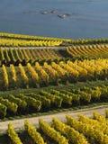 Höst i vingårdarna på floden rhine nära RÃ-¼desheim Arkivfoton