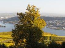 Höst i vingårdarna på floden rhine nära RÃ-¼desheim Fotografering för Bildbyråer