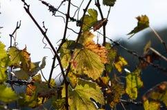 Höst i wineyard Arkivbilder