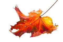 höst isolerad leaf Royaltyfri Foto