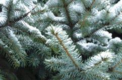 Höst Kallt väder Djupfrysta barrträds- filialer i den vita vintern Frostigt vinterlandskap i snöig skog Fotografering för Bildbyråer
