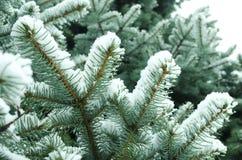 Höst Kallt väder Djupfrysta barrträds- filialer i den vita vintern Frostigt vinterlandskap i snöig skog Arkivbild