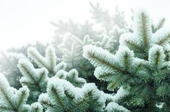 Höst Kallt väder Djupfrysta barrträds- filialer i den vita vintern Frostigt vinterlandskap i snöig skog Royaltyfri Bild