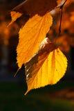Höst leaves Royaltyfria Foton