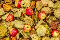 Höst Mogna röd-guling äpplen som ligger på höstsidor arkivbild