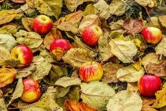Höst Mogna röd-guling äpplen som ligger på höstsidor arkivfoton
