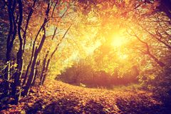 Höst nedgånglandskap Sol som skiner till och med röda sidor Tappning Royaltyfria Bilder