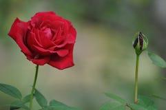 Höst Rose Arkivfoto