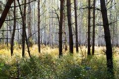 Höst Sort av den mörka pinjeskogen på en ljus björk Royaltyfri Foto