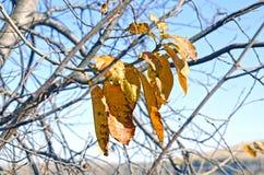 Höst stupade gula sidorna för sist de inte på ett träd På bakgrunden av blå himmel fotografering för bildbyråer