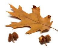 Höst torkat blad av eken och ekollonar Fotografering för Bildbyråer