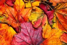 höstbakgrund låter vara linsen gjorda lönnbildspecialen Härlig färgglad lönnleav Royaltyfri Foto