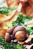 Höstbakgrund med ekollonar Royaltyfria Bilder