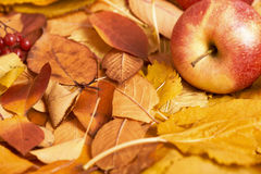 Höstbakgrund, rött äpple på gula stupade sidor, abstrakt garnering i landsstil, tonad mörk brunt Arkivfoto