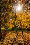 höstbakgrundscloseupen colors orange red för murgrönaleaf färgrik lövverk i träden som gloving i solljus Royaltyfria Foton