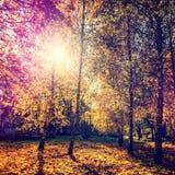 höstbakgrundscloseupen colors orange red för murgrönaleaf färgrik lövverk i träden som gloving i solljus Arkivfoto