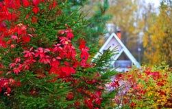 höstbakgrundscloseupen colors orange red för murgrönaleaf Hus i skog Arkivfoton