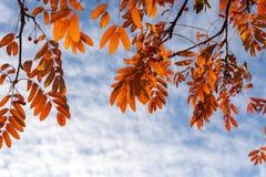 höstbakgrundscloseupen colors orange red för murgrönaleaf Närbild av filialer av rönnen med ljusa apelsinsidor mot den molniga hi arkivfoto