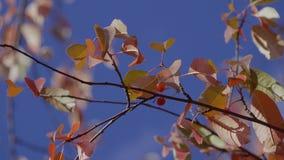 höstbakgrundscloseupen colors orange red för murgrönaleaf Närbild av höstfilialen mot himmel Nedgångsidor fattar på prasslar i vi stock video