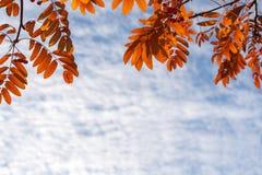 höstbakgrundscloseupen colors orange red för murgrönaleaf Orange rönnsidor upptill och himmel med moln och kopieringsutrymme royaltyfri foto