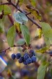 höstbergbarberry på en filial fotografering för bildbyråer