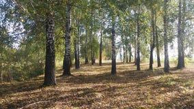 Höstbjörkar i Ryssland Arkivfoto