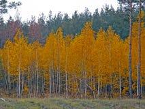 Höstbjörkskog Royaltyfri Fotografi