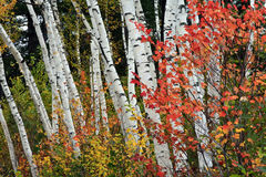 höstbjörkskog royaltyfria bilder