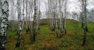 Höstbjörkskog från surret lager videofilmer