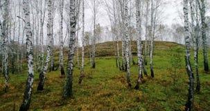 Höstbjörkskog från surret stock video
