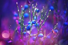 Höstblåbär Saftigt och nytt wildberry växa i organiskt blåbär för skog arkivfoton
