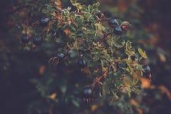 Höstblåbärfilial av ett bärträd fotografering för bildbyråer