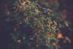 Höstblåbärfilial av ett bärträd royaltyfri foto