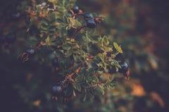 Höstblåbärfilial av ett bärträd royaltyfri fotografi